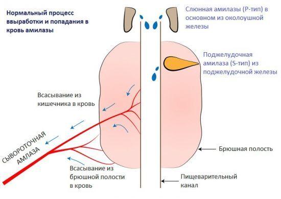 Альфа-амилаза в крови: норма у мужчин, женщин и детей