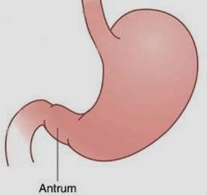 Антральный отдел желудка: что это такое, функции, где находится, болезни