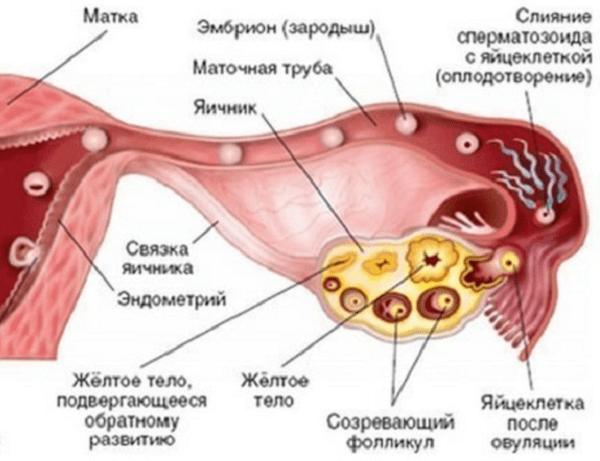 Желтое тело в яичнике: на УЗИ, что значит, симптомы, когда появляется и исчезает
