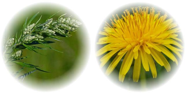 Травы при гастрите желудка: самые эффективные растения и лекарственные желудочные сборы, травяные чаи, как помогает шиповник, зверобой, полынь, чистотел, чага, крапива, лопух, шалфей, календула, чабрец