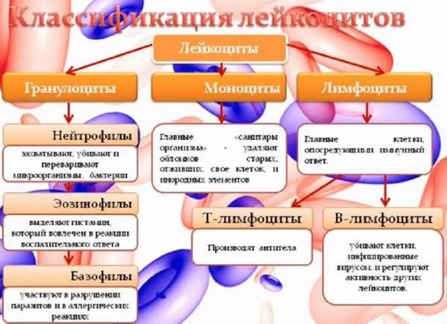 Лейкоциты в крови в норме: где образуются, разновидности, подсчет и функции