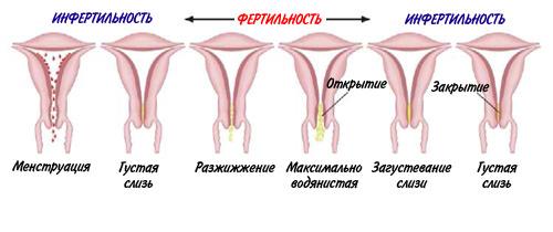 Прощупывание матки