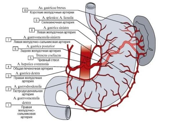 Кровоснабжение желудка: откуда получает, основные анастомозы