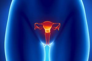 Строение матки женщины