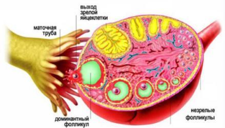 Желтое тело при беременности