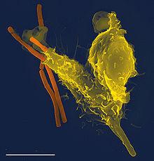 Клетки крови человека под микроскопом: как они называются и что делают