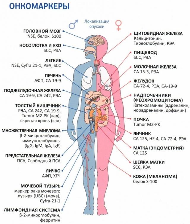 Когда нужно сдать кровь на онкомаркеры и что это за исследование